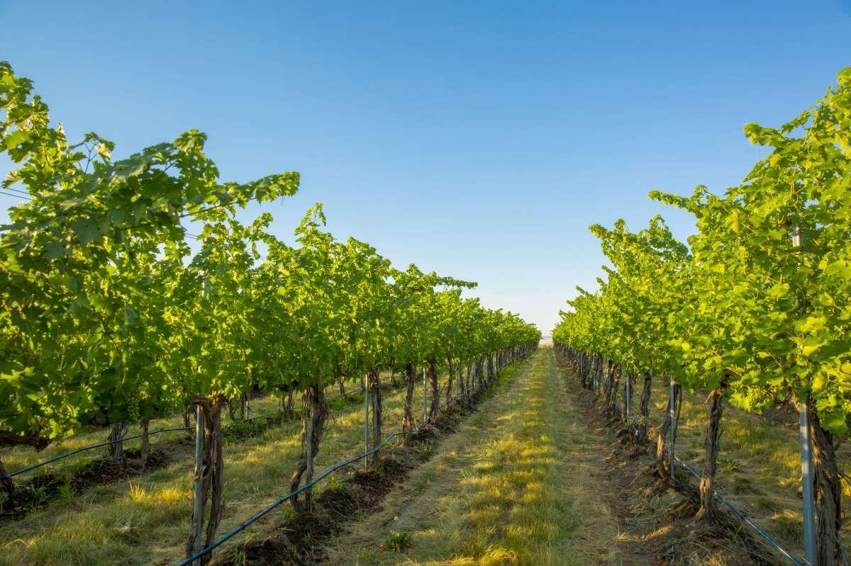 Vignoble à flanc de colline sous ciel bleu