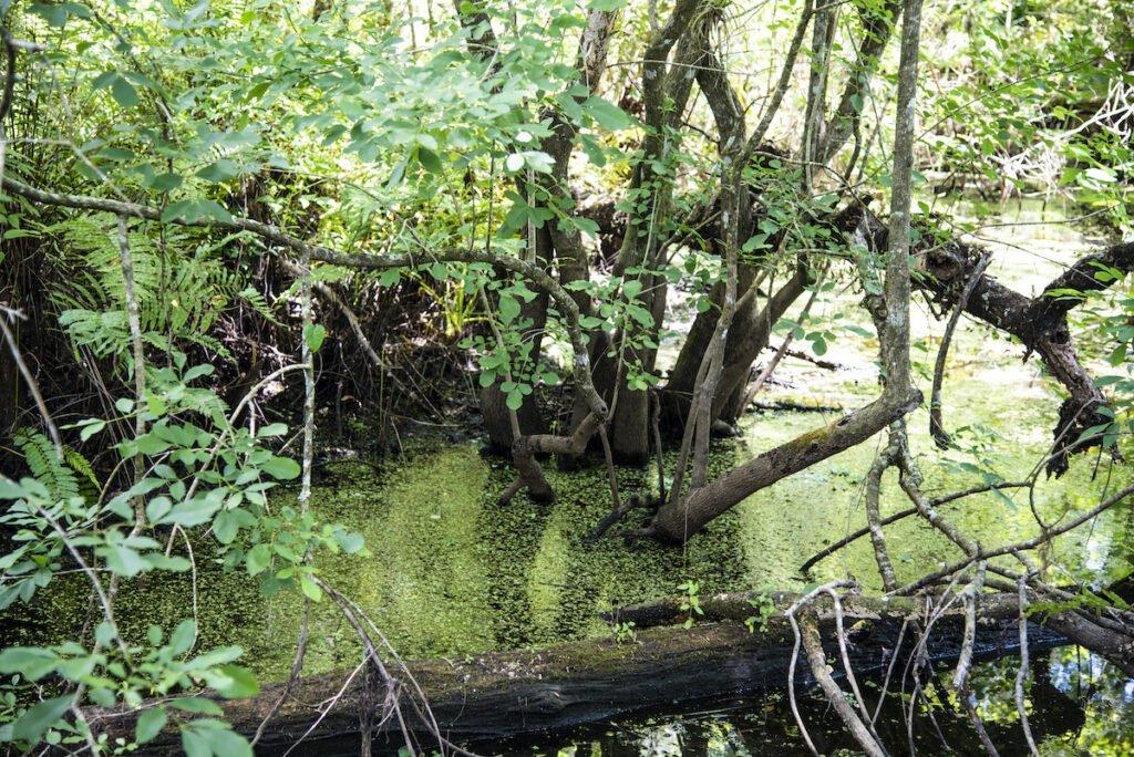 Piscine des zones humides à Corkscrew Swamp.