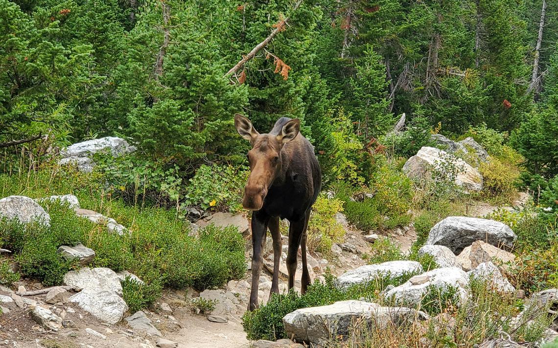 La faune est dans son habitat naturel dans des endroits comme le parc national de Grand Teton.  Rester apaisant et hors de leur chemin, même sur les sentiers, est conseillé.  Steve Wagner / Service des nouvelles du forum